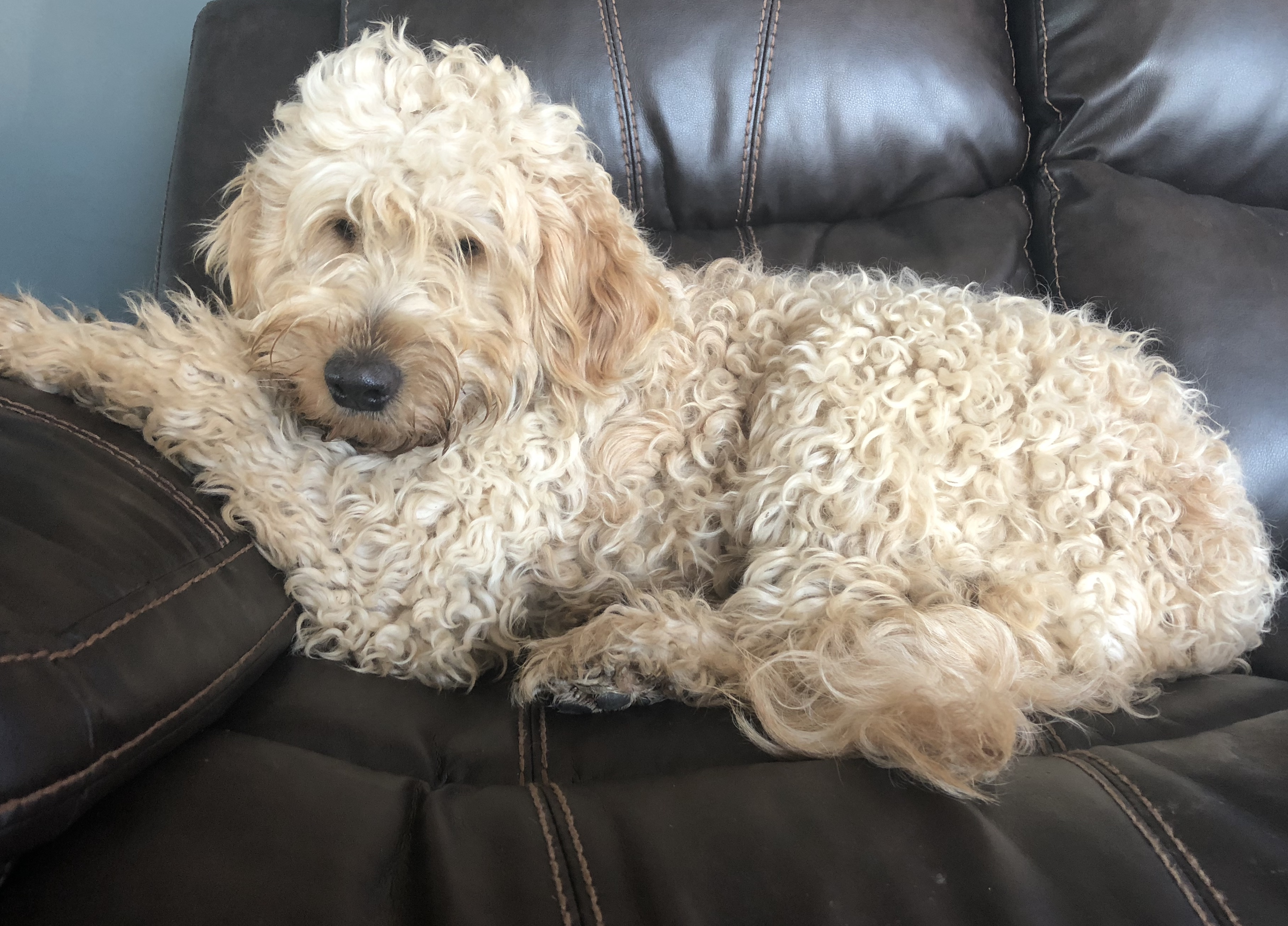 Goldendoodle Puppies – HOPE HILL DOODLES
